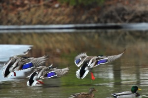 Mallards on Crystal River