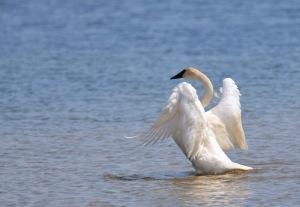 Trumpeter swan Little Glen